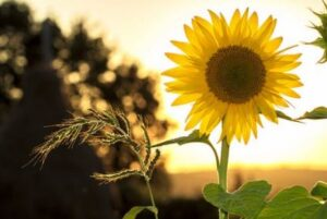 Picture of a sunflower in bloom